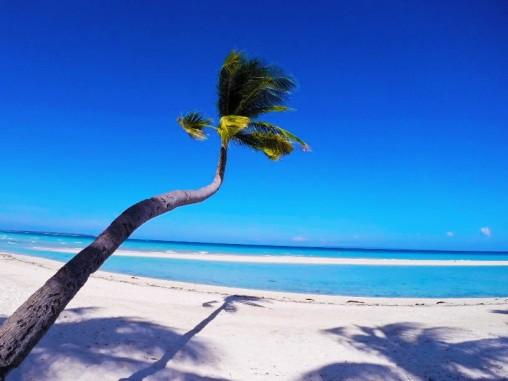 bantayan palm tree